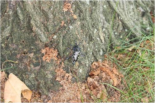 Asian longhorned beetle frass