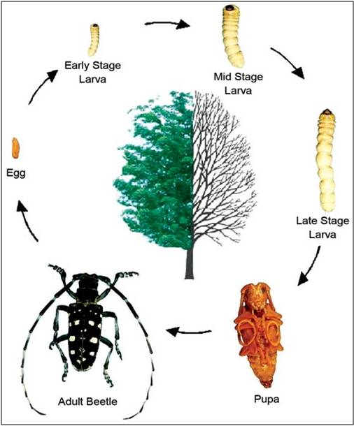 Asian longhorned beetle life cycle