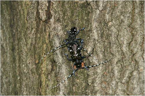 Male Asian longhorned beetle guarding female as she chews an egg-laying site
