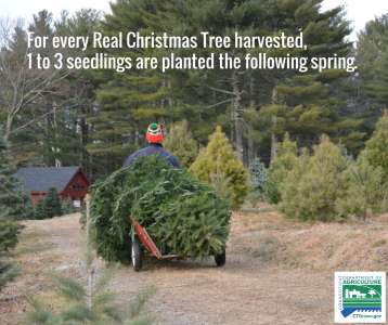 Connecticut Grown Christmas Tree Farms Opening This Week Statewide