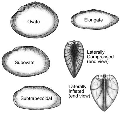 Illustration of different shapes of mussel shells.