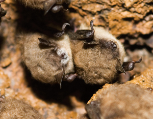 Little brown bats with white-nose syndrome
