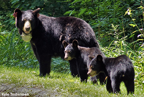 Female Black Bear with Cubs