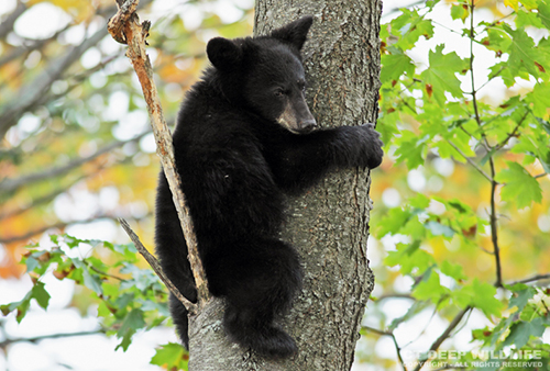 Young Black Bear in Tree
