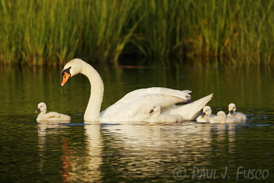 Mute swan with young