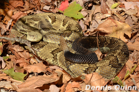 Timber Rattlesnake,Types Of Cacti With Pictures