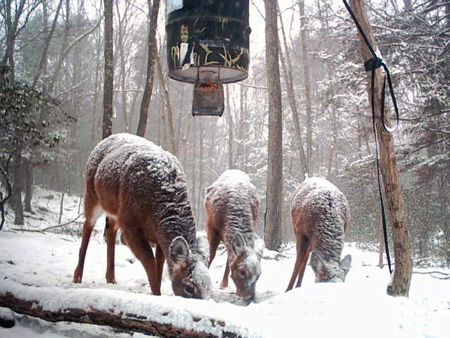 Deer at a feeder during winter