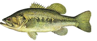 Large Mouth Bass