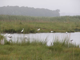 Shorebirds in a marsh.