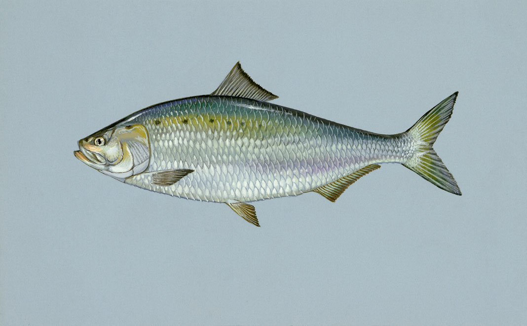 American Shad, State Fish