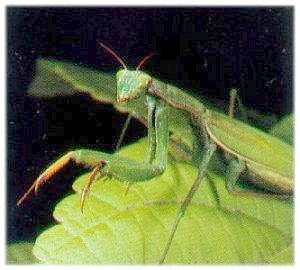 A Picture of The State Insect